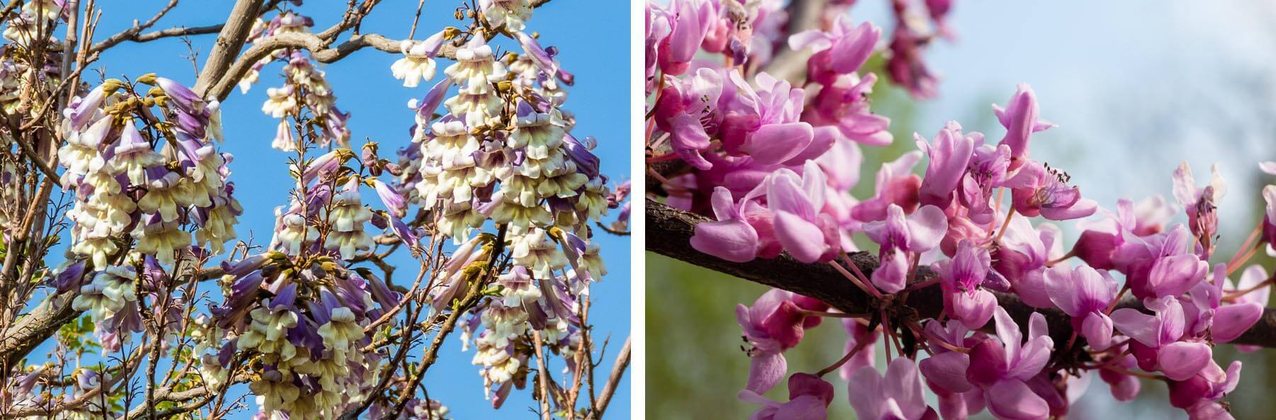 Purple and pink flowers adorn bare branches