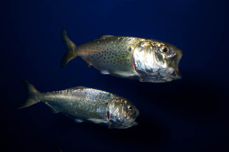 Picture of Five species that provide a vital link in the Chesapeake Bay food web