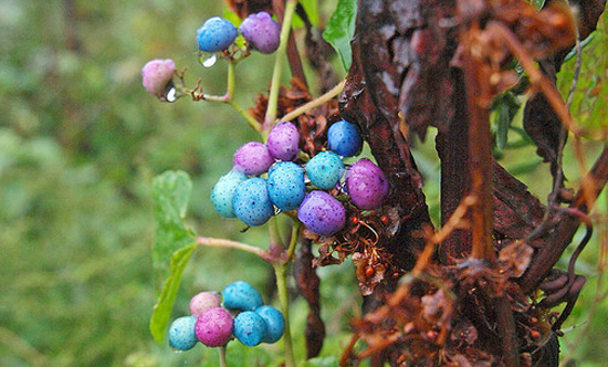 Porcelainberry (image courtesy Steve Guttman/Flickr)