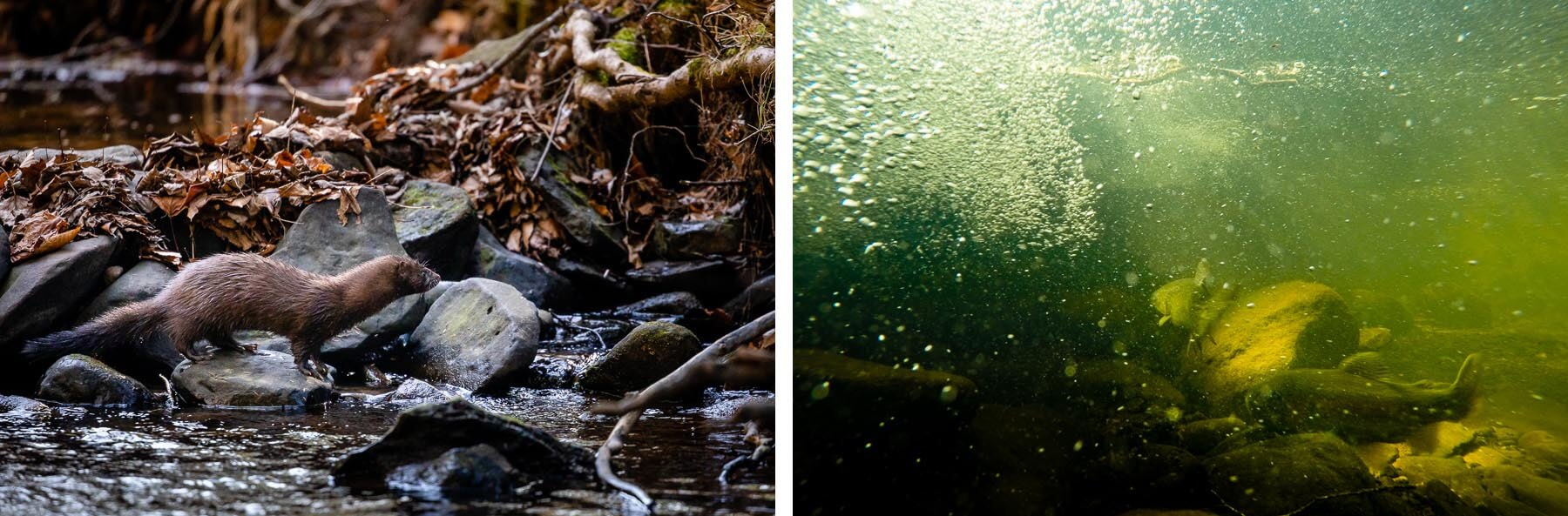 LEFT: A mink hunts along the edge of a log vane installed along Beaver Run at Patriots Cove. RIGHT: Trout swim amid the bubbles created by restoration efforts.