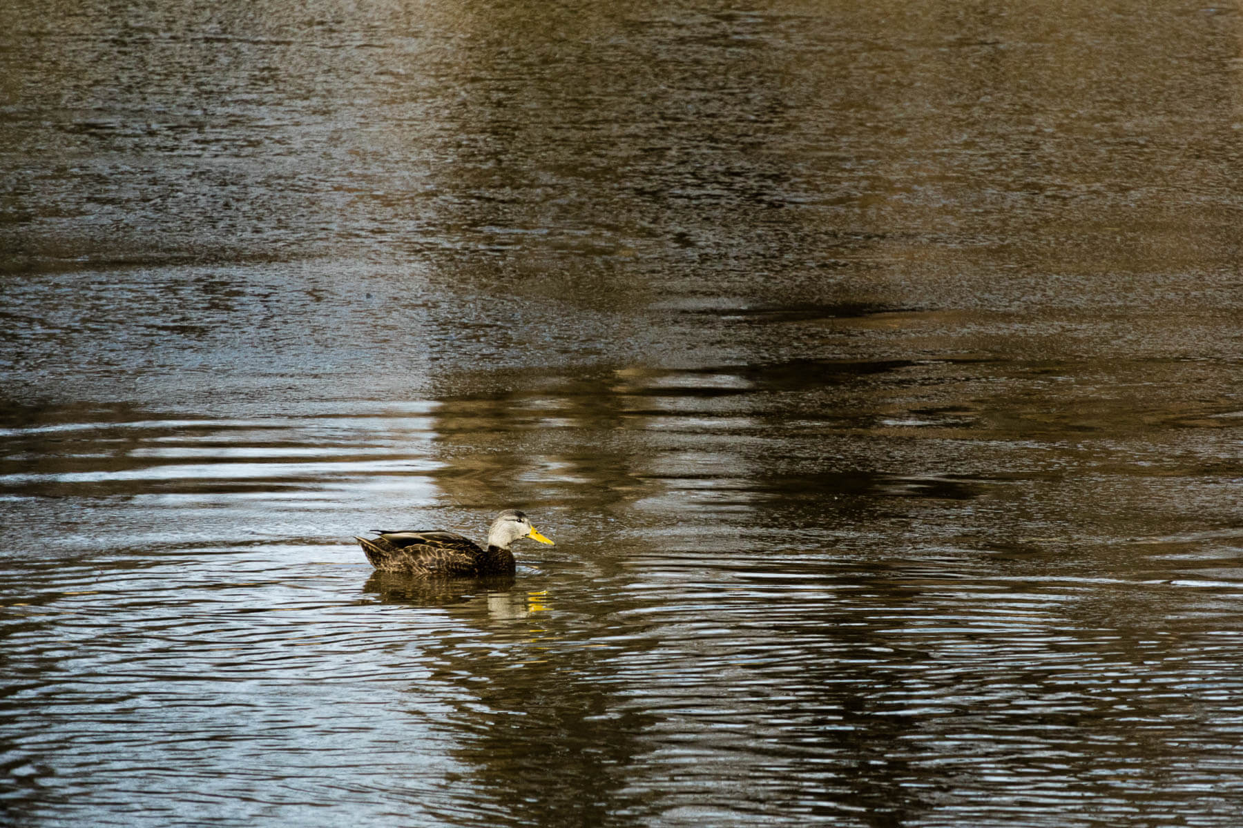 American black duck floating on water