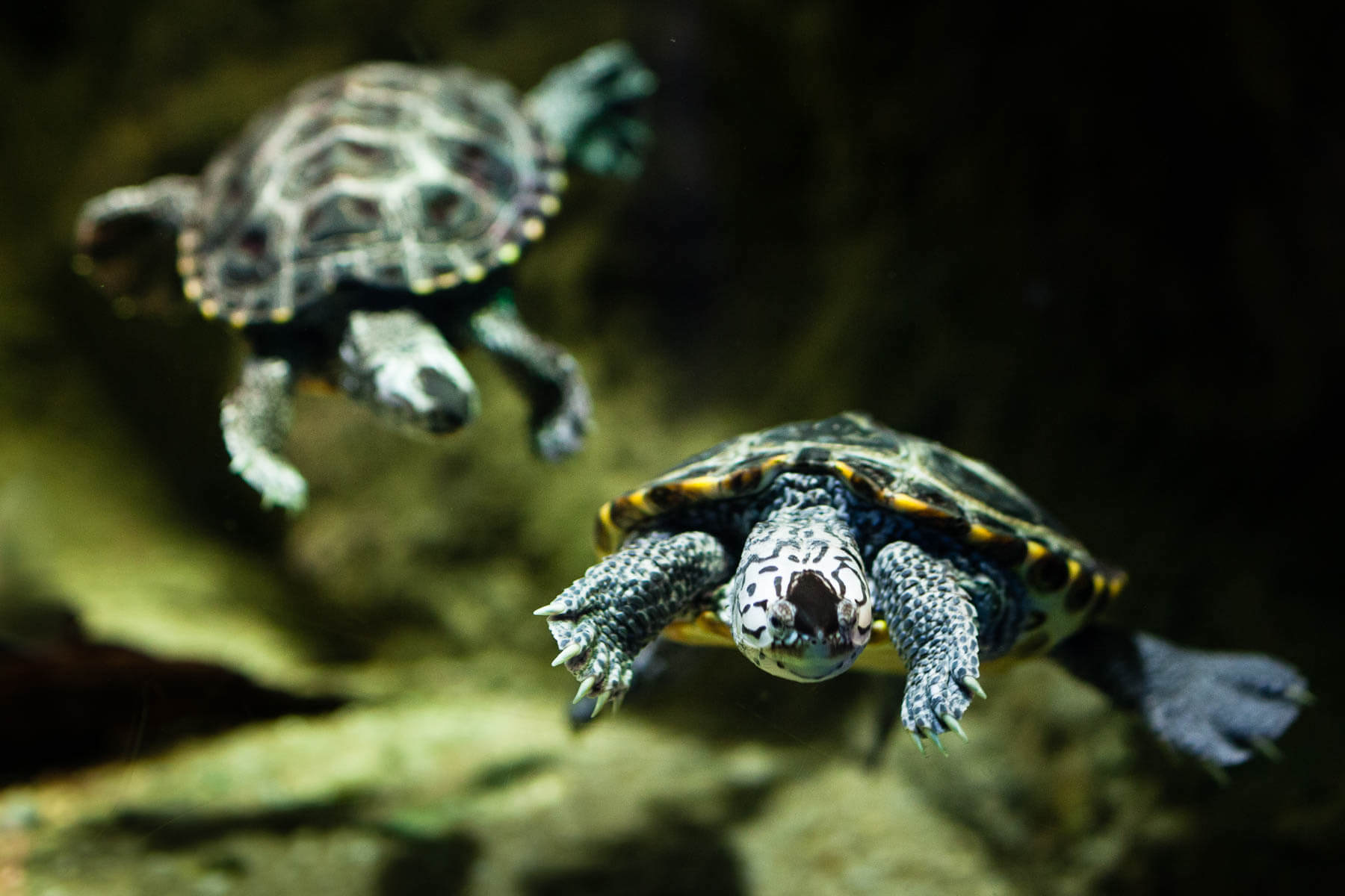 Two baby turtles swimming through water