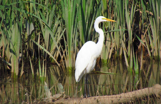 Great egret (image courtesy Anacostia Watershed Society)