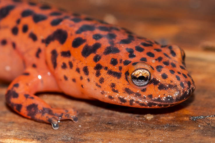 A close-up view of a red and black spotted salamander