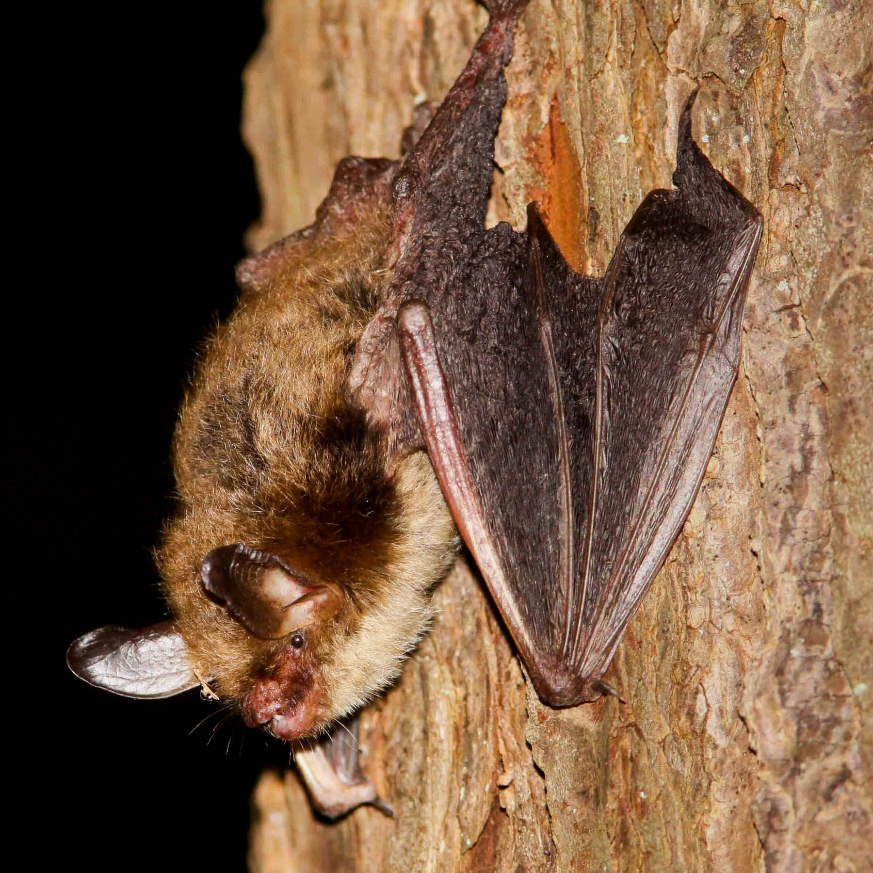 A healthy northern long-eared bat clings to a stone wall.