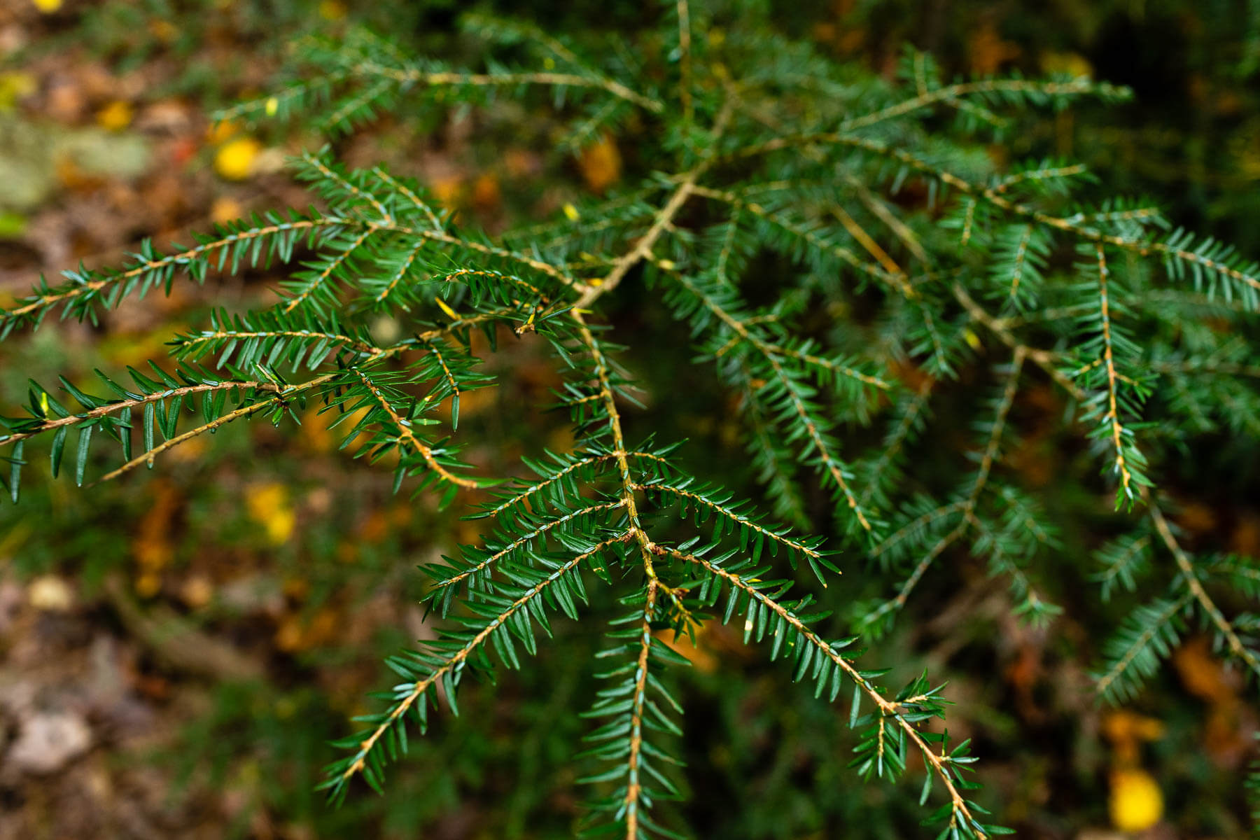 A hemlock branch with green needles