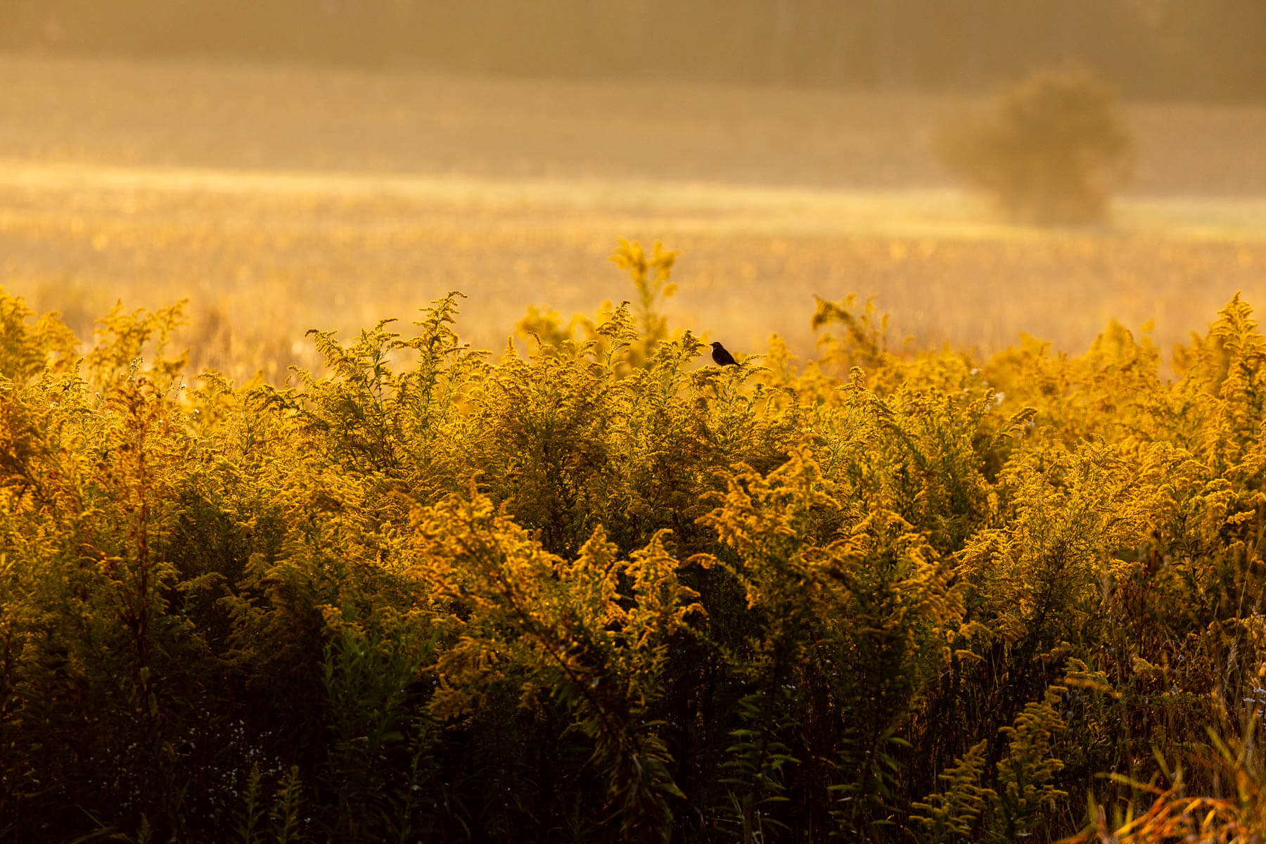 Yellow wildflowers at sunrise with a single bird perched