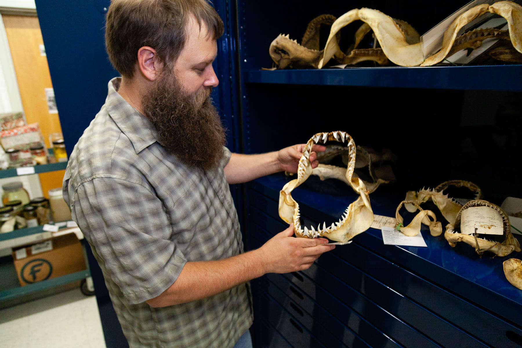 A man holds shark jawbones with several more resting on a table