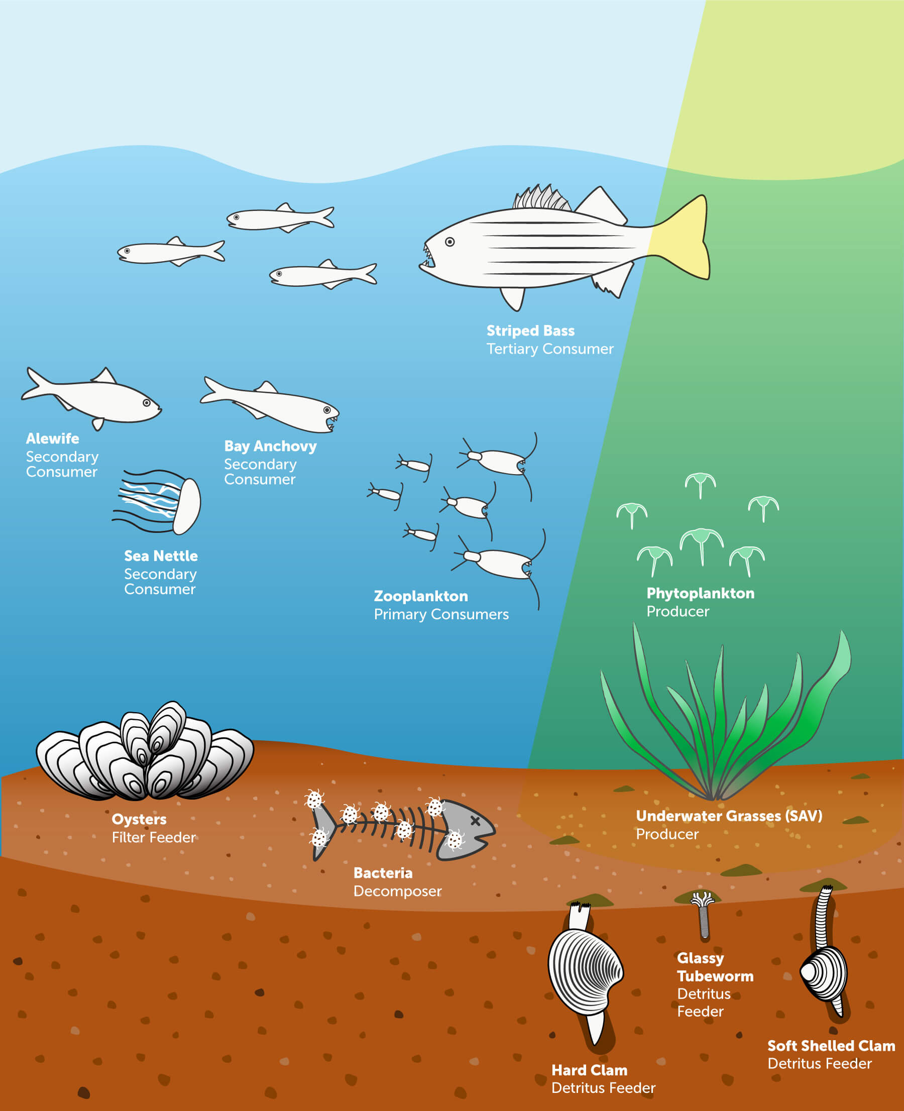 Illustration of a Chesapeake Bay Food Chain