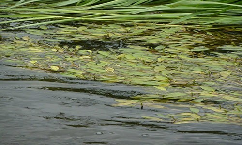 American pondweed can be found throughout the entire United States. It is considered invasive and poses a threat to many native species of submerged aquatic vegetation. (ikb/Flickr)