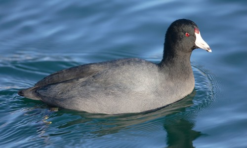 The American coot is a dark, duck-like bird with a white bill. (Mdf/Wikimedia Commons)