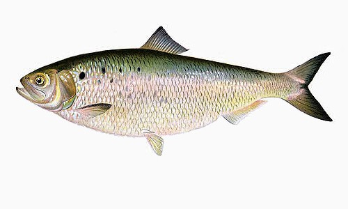 The American shad is a thin, silvery river herring with a large, dark shoulder spot followed by several smaller, paler spots. (Shermon Foote Denton)
