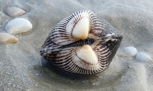Ponderous arks are the largest of the three Chesapeake Bay ark species. They are perfectly heart-shaped when viewed from the side. (Bill Frank/Jax Shells)