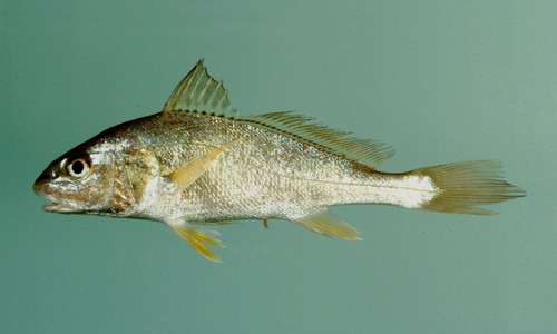 The Atlantic croaker has a deep notch in its dorsal fin and a slightly pointed tail fin. (NOAA NMFS Southeast Fisheries Science Center)
