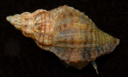 The Atlantic oyster drill is a small snail with a pointed, ribbed shell. (The Southeastern Regional Taxonomic Center, South Carolina Department of Natural Resources)