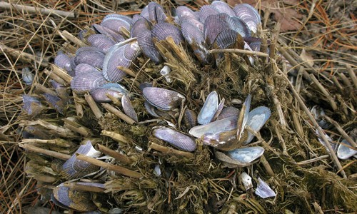 Clumps of ribbed mussels are usually found half-buried in the mud among marsh grasses. (Sandy Richard/Flickr)