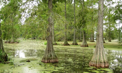 Picture of Bald Cypress