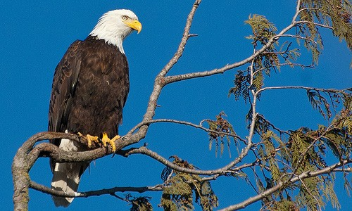 The bald eagle is a large raptor with a yellow, hook-shaped bill and a white head and tail. (Nav Tombros/Flickr)