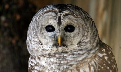 The barred owl's large brown eyes contrast with its gray face and pale yellow bill. (Denis-Carl Robidoux/Flickr)