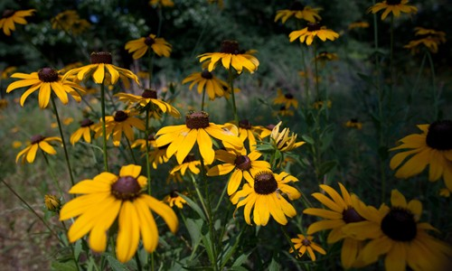 The black-eyed Susan is a native herbaceous perennial with golden yellow flowers that bloom throughout the summer. (Susan Adams/Flickr)