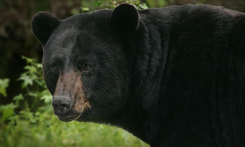 The American black bear can be found in forests and swamps throughout the Chesapeake Bay watershed. Found only in North America, it is the most common and widely distributed of bears. (Steve Hillebrand/USFWS)
