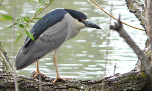 Picture of Black-crowned Night Heron