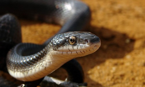 The black rat snake is completely black, except for its white chin and belly. (Furryscaly/Wikimedia Commons)