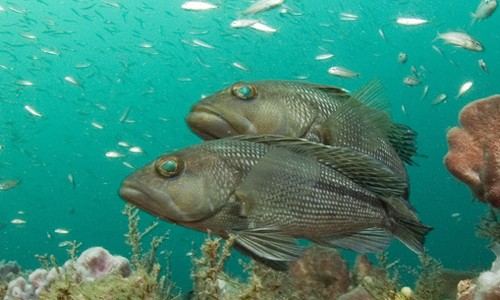 Black sea bass are most often found in rocky areas around wrecks, pilings, buoys, jetties and other structures. (NOAA Photo Library)