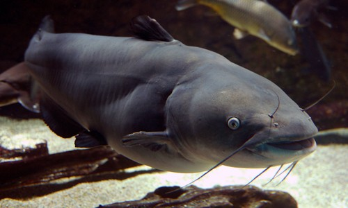 The blue catfish has four pairs of whisker-like barbels around its mouth, which it uses to search for food. (rbairdpccam/Flickr)