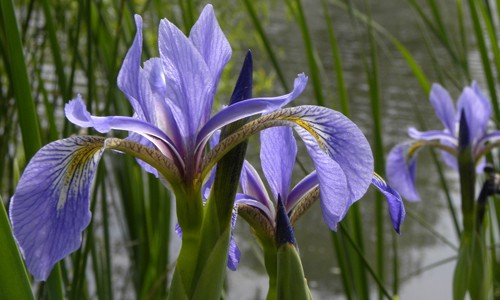Blue flag has violet-blue flowers that gradually narrow toward the center of the flower. (Bob Gutowski/Flickr)