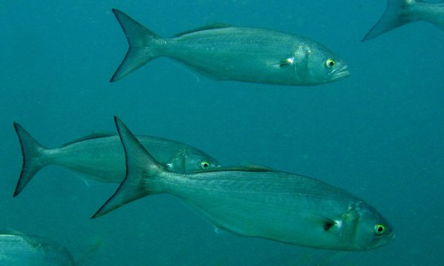 The bluefish is a large, long fish with a greenish-blue body. (Richard Ling/Flickr)