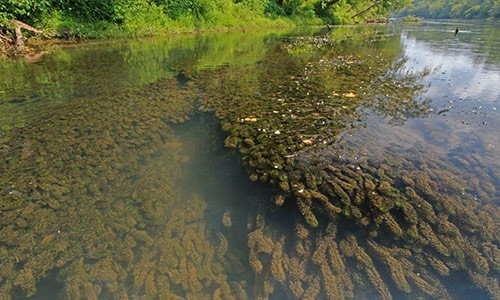 Picture of Brazilian Waterweed