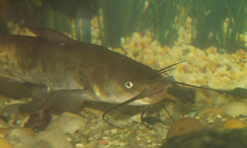 The brown bullhead has four pairs of dark, whisker-like barbels around the mouth. (James Dowling-Healey/Animal Diversity Web)