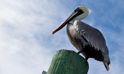 Brown pelicans are often seen perched on piers, pilings, boats and jetties around the Chesapeake Bay in summer. (Allan Paquette/Flickr)