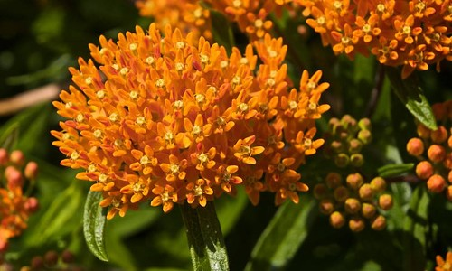 Picture of Butterflyweed