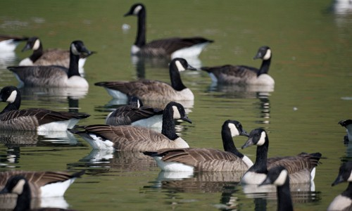 Canada geese always live in flocks, except when nesting. (Stephen Little/Flickr)