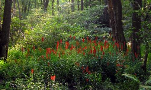 Cardinal flower grows in moist areas such as seeps, wooded swamps, freshwater marshes, and along the banks of ponds, rivers and streams. (mtnbike115/Flickr)