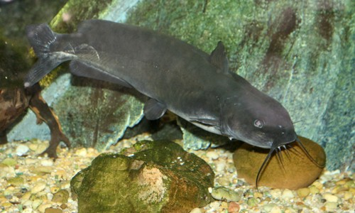 Channel catfish live in fresh and brackish waters in the upper Chesapeake Bay and streams, creeks and rivers throughout the Bay watershed. (cliff1066/Flickr)