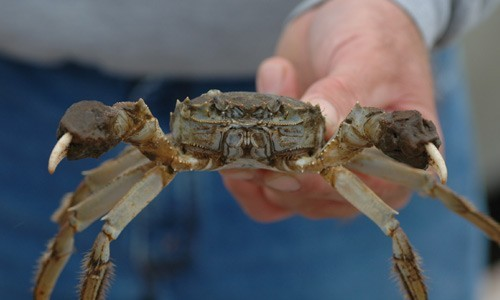The shell of the Chinese mitten crab can reach a width of up to 10 centimeters. (Smithsonian Environmental Research Center)
