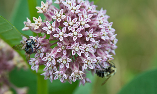 The common milkweed has clumps of small, pink to purplish flowers. (Image credit: Arthur T. LaBar/Flickr)