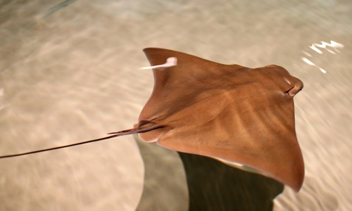 Cownose rays swim by flapping their