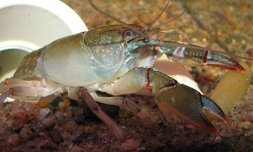 The devil crayfish is one of the most widespread crayfish species in North America. (Mean and Pinchy/Flickr)