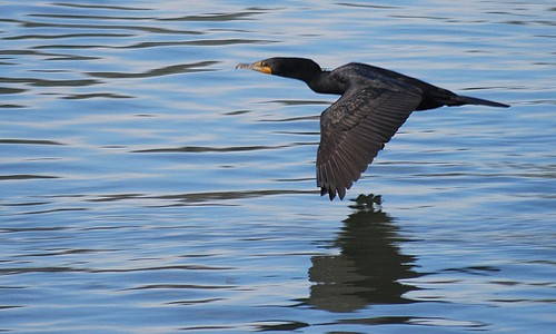 Cormorants are often seen flying low over the water. (Paul Sullivan/Flickr)