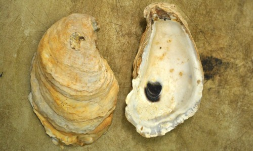 An oyster's bottom shell is cupped and has a purple muscle scar on the inside. (Fisheries and Oceans Canada/World Register of Marine Species)