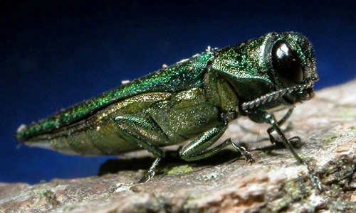 The emerald ash borer is a tiny, invasive beetle with a metallic, bright green body. (David Cappaert/Michigan State University/Bugwood.org)