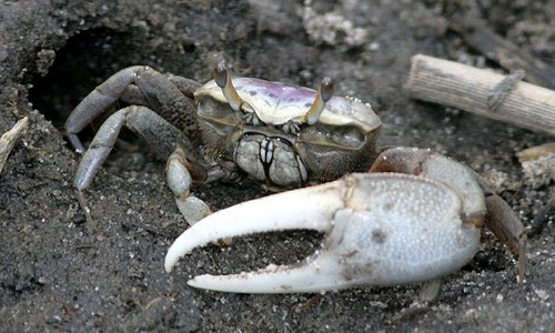Male fiddler crabs have an enlarged major claw that they use to attract a mate and discourage rivals. (Patrick Coin/Flickr)