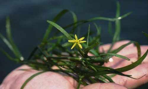 Water stargrass gets its name from its distinctive yellow star-like flowers, which bloom in summer. (Maryland Department of Natural Resources)