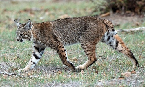 Bobcats get their name from their short, bobbed tails. (Don DeBold/Wikimedia Commons)