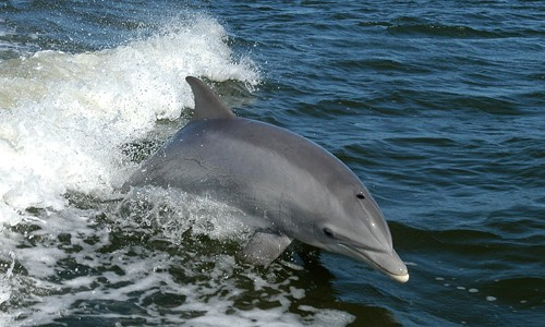 Bottlenose dolphins can swim nearly 18 miles per hour, although they usually swim 2-4 miles per hour. (NASA/Wikimedia Commons)