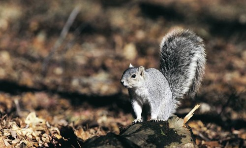 The Delmarva fox squirrel has a gray body and a full, fluffy tail that can grow to 15 inches long. (U.S. Fish & Wildlife Service)